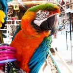 Those colors though! harlequinmacawcatalinamacawsanctuary rescue rescueparrot macawgreenwingmacawmacawsofigmacawsofinstagram macawsparrotrescue parrotsofinstagram parrotsofighellip
